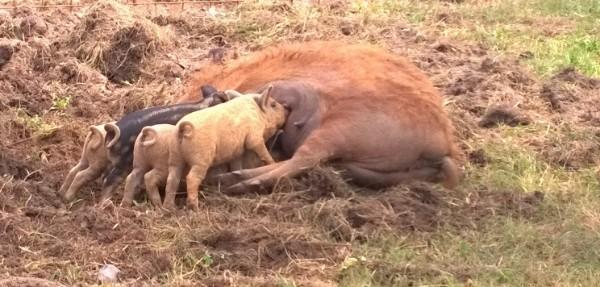 Die wollschweine - Die poolbauer ...